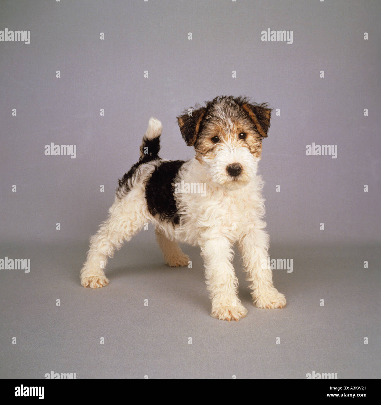 wirehaired Foxterrier dog - puppy standing Stock Photo, Royalty ...