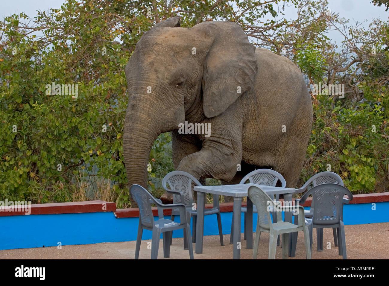 Wild African Savanna Elephant climbing over wall to drink ...