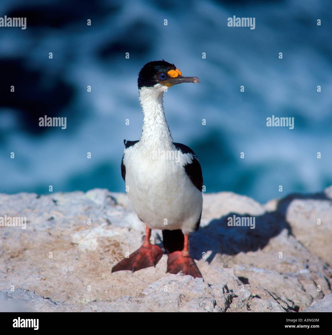 Cormorant King Wallpapers Cormorant King King Cormorant