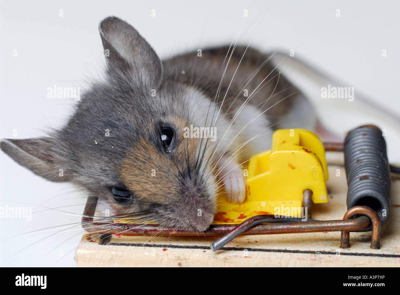 dead house mouse caught in a mousetrap stock photo