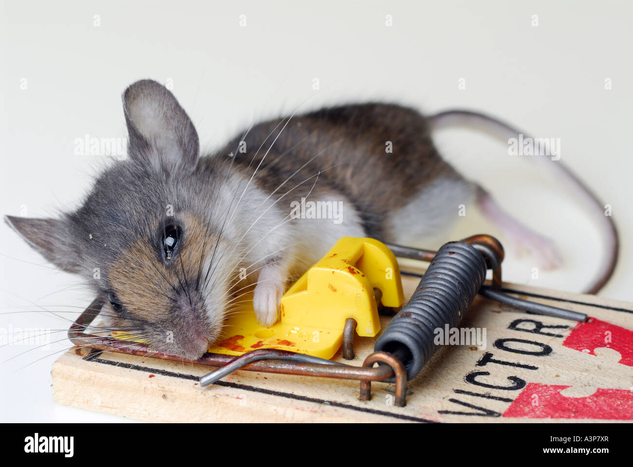 dead common house mouse vermin caught in a mousetrap on