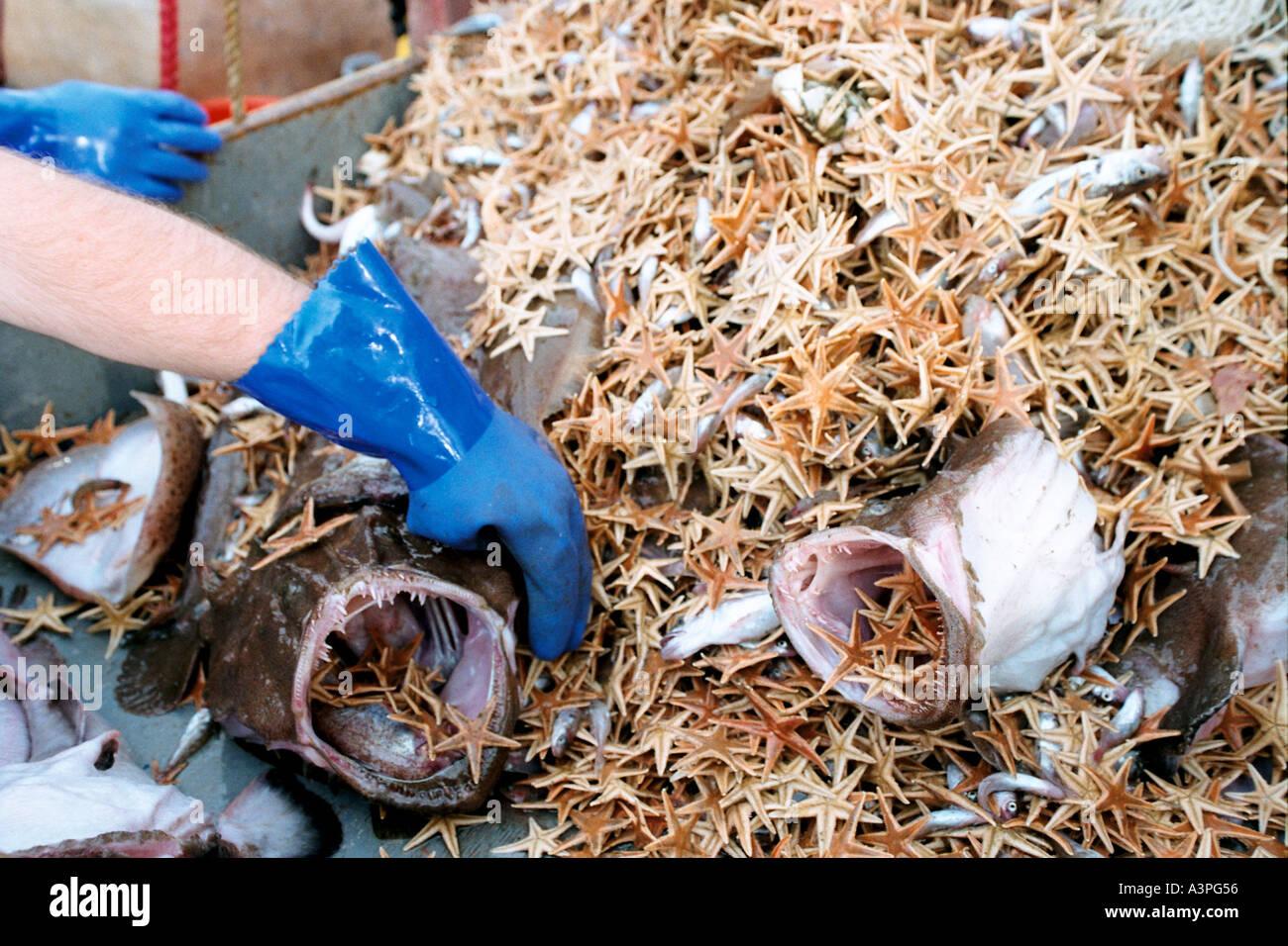 Goosefish Cutting