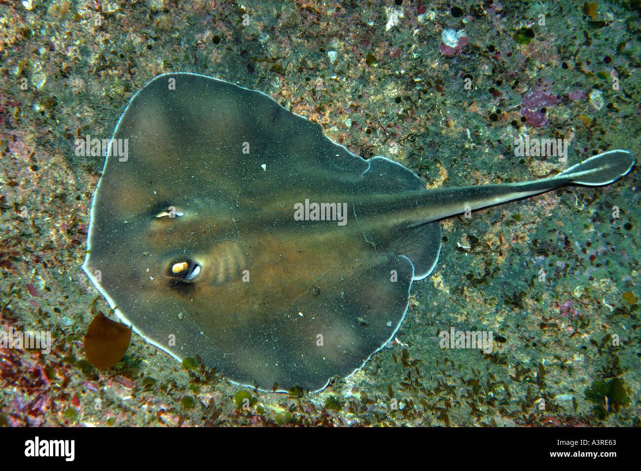Freshwater fish korea - Sepia Stingray Urolophus Aurantiacus Munsom Island Jeju Do South Korea East Sea
