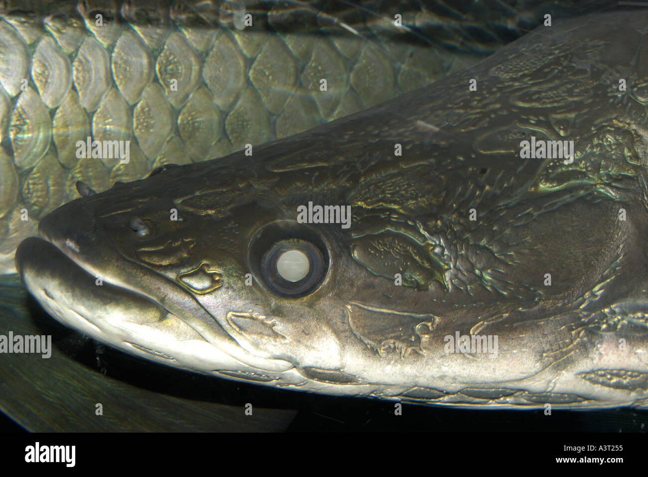 Freshwater fish korea - Arapaima Or Pirarucu Face Detail Arapaima Gigas Largest Freshwater Fish Naturally Occurs In The Amazon River
