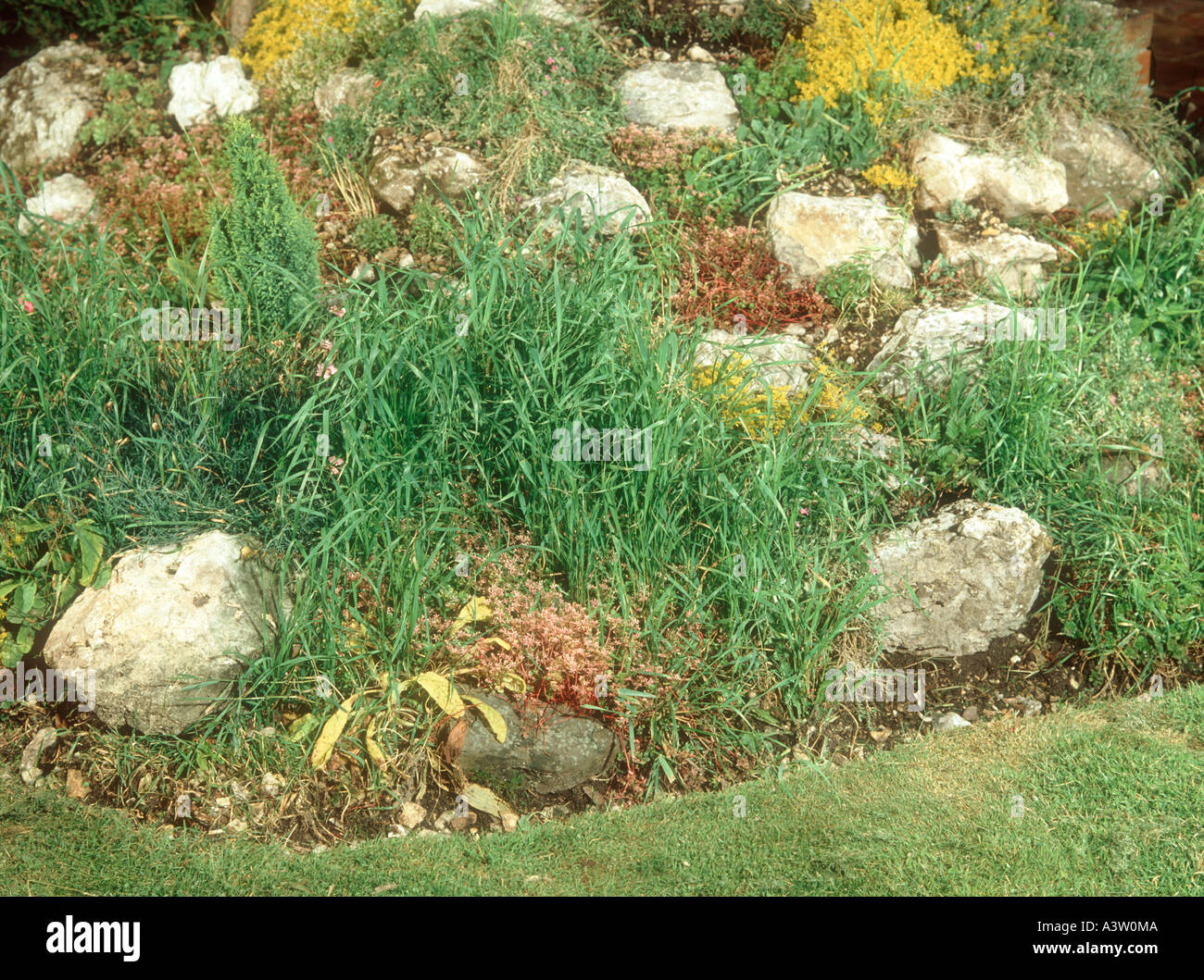 Grass Couch Couch Grass Agropyron Repens Infesting Rockery And Flower Beds In