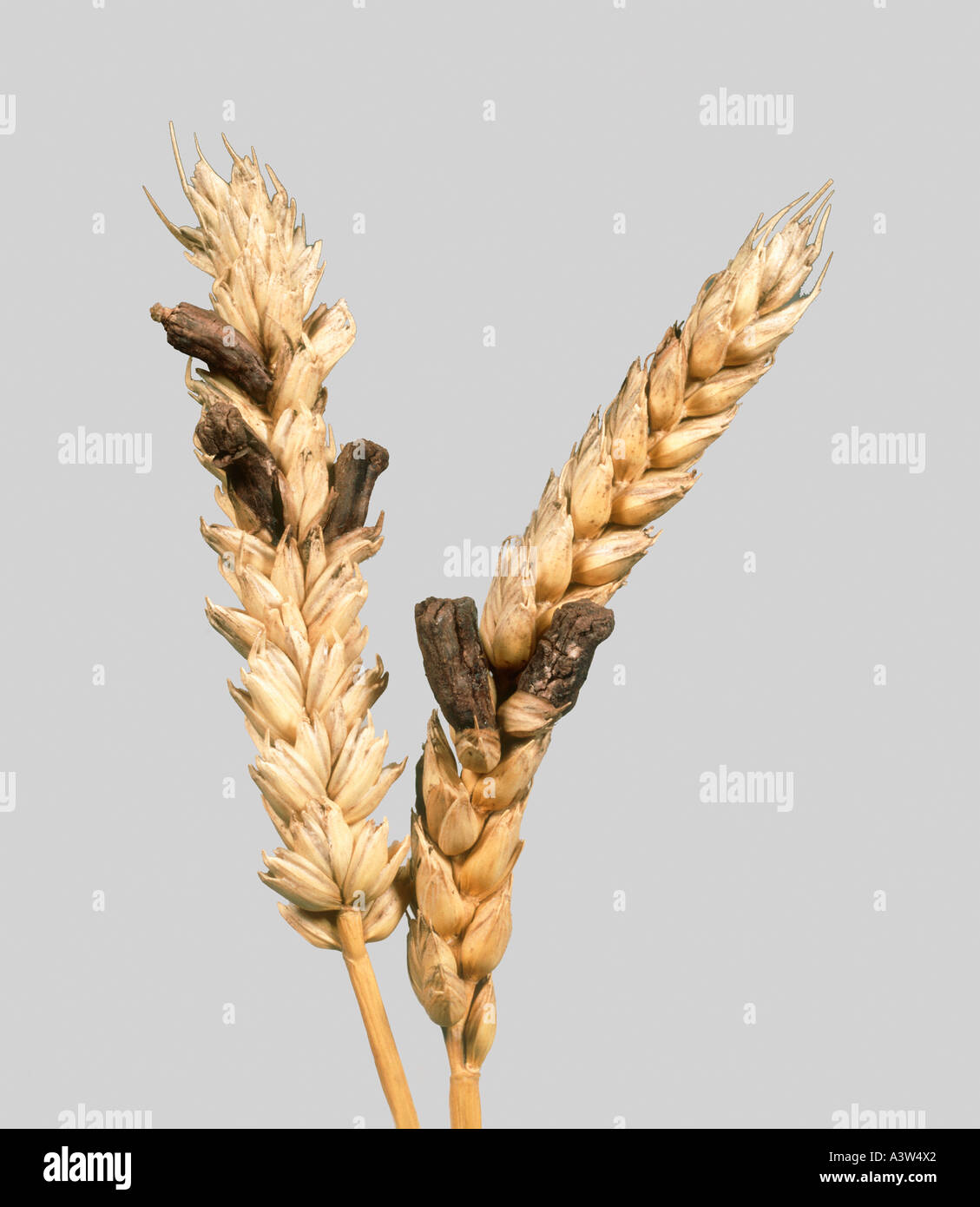 ergot claviceps purpurea replacing grains in a ripe wheat ear stock photo 6206625 alamy. Black Bedroom Furniture Sets. Home Design Ideas