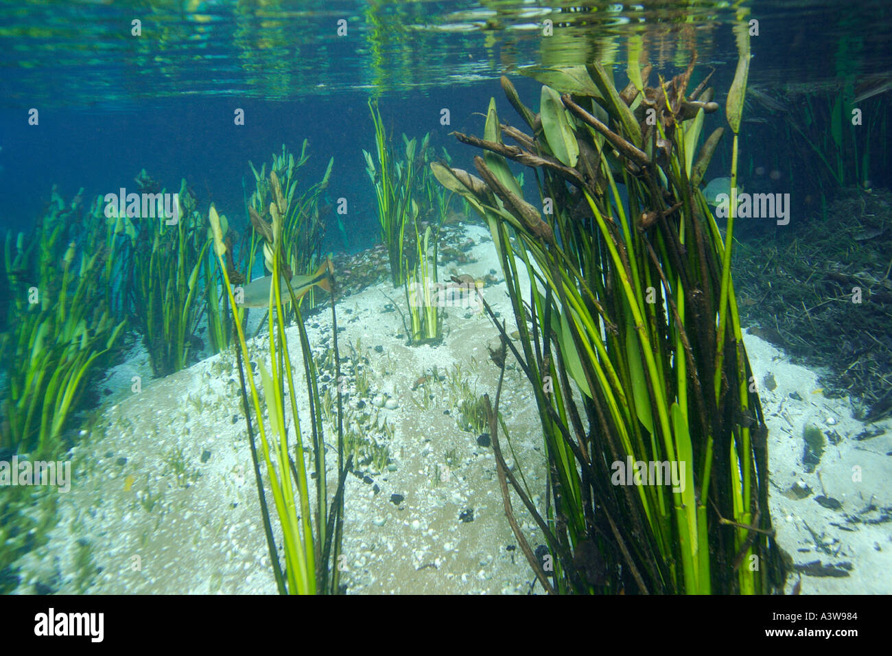 Underwater plants and sandy bottom natural freshwater for Underwater pond plants