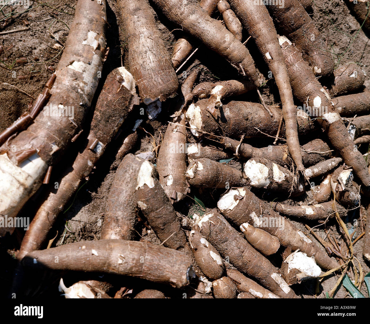 Cassava a reliable food, cash crop in these hot, dry times