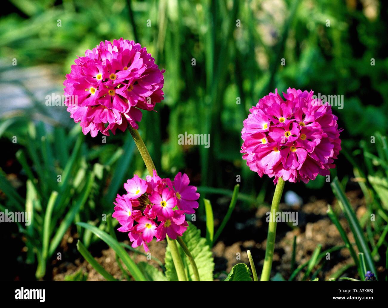 Botany primrose primula drumstick primula primula for Quelles sont les couleurs chaudes