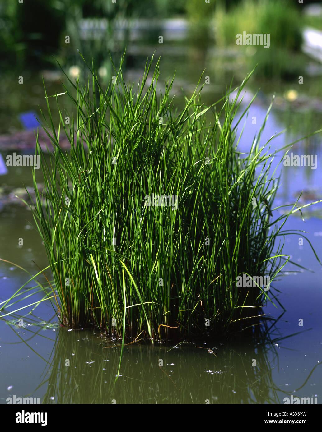 Aquatic plants with common names