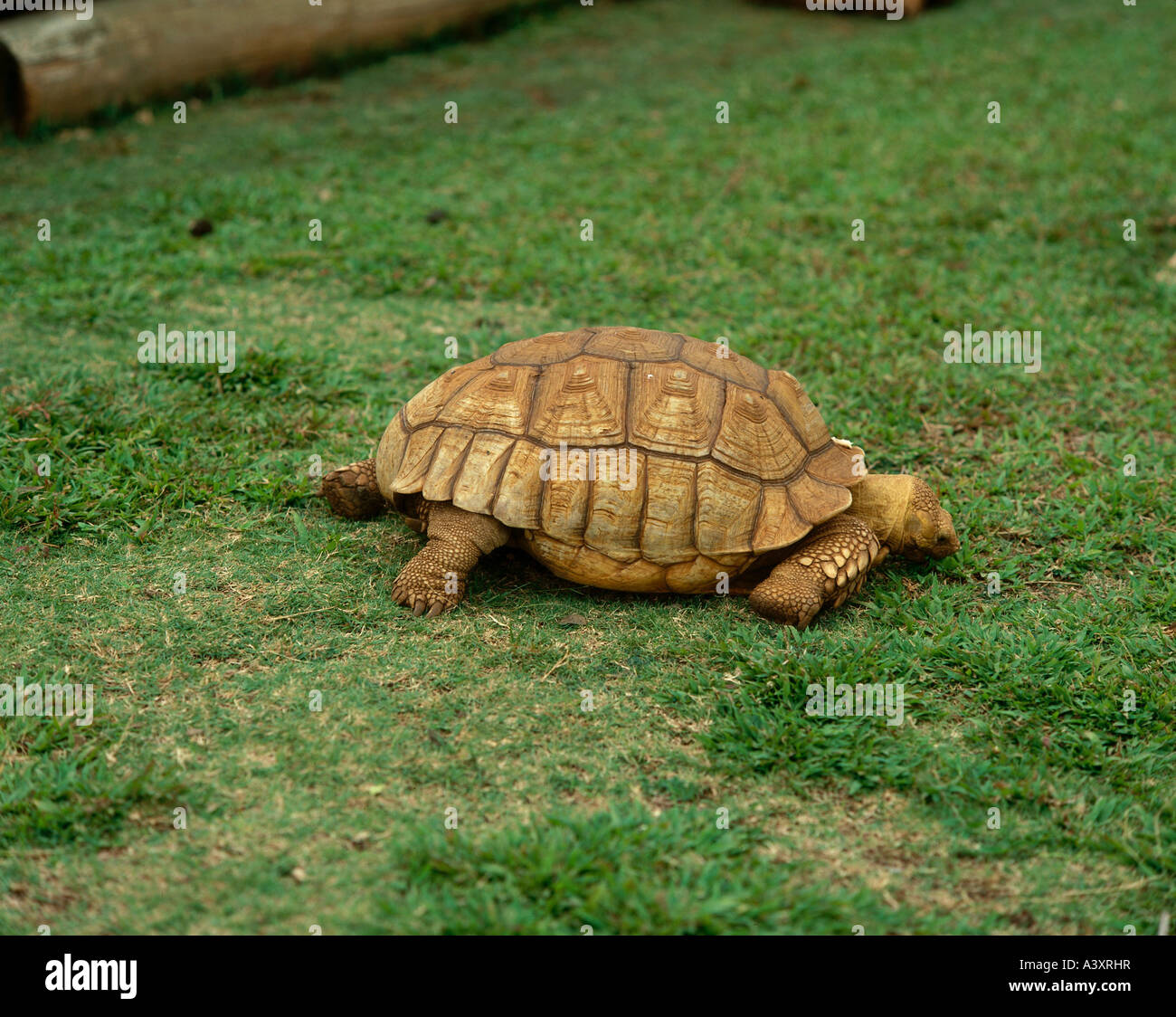 Full Grown Greek Tortoise