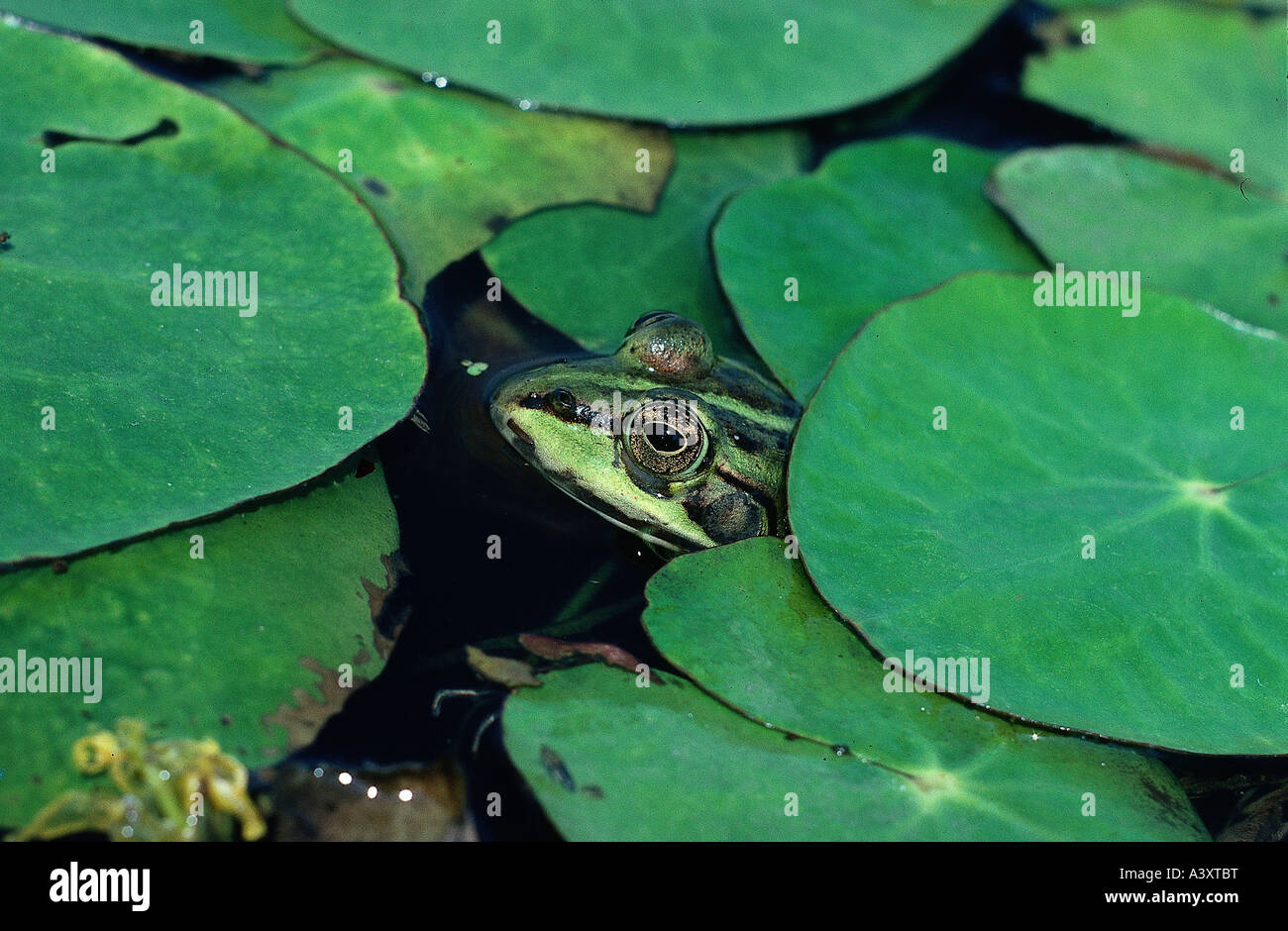 Zoology Animals Amphibian Frogs Pool Frog Rana