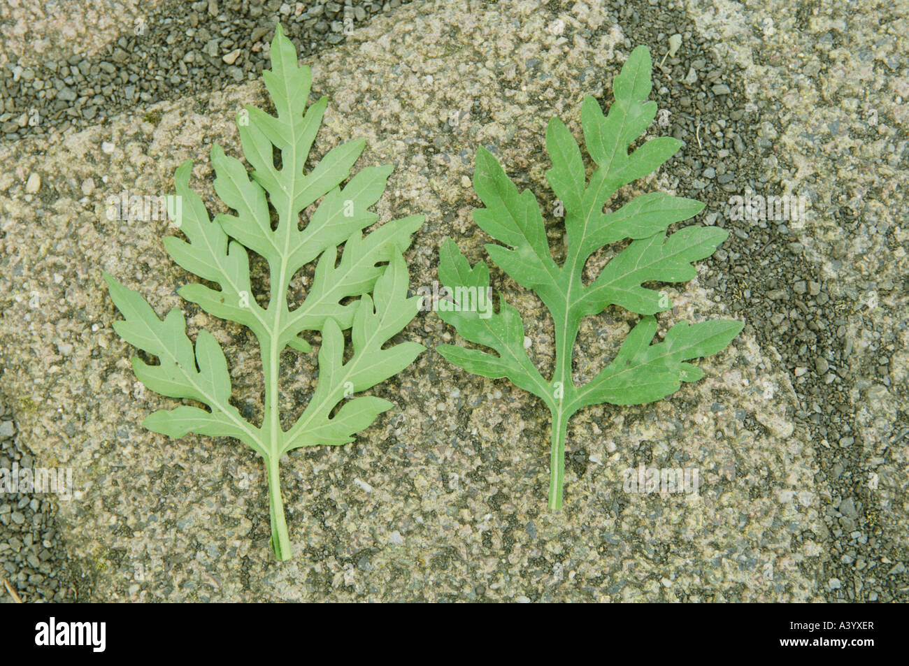 Weed roman wormwood stock photo royalty free image 10887694 alamy