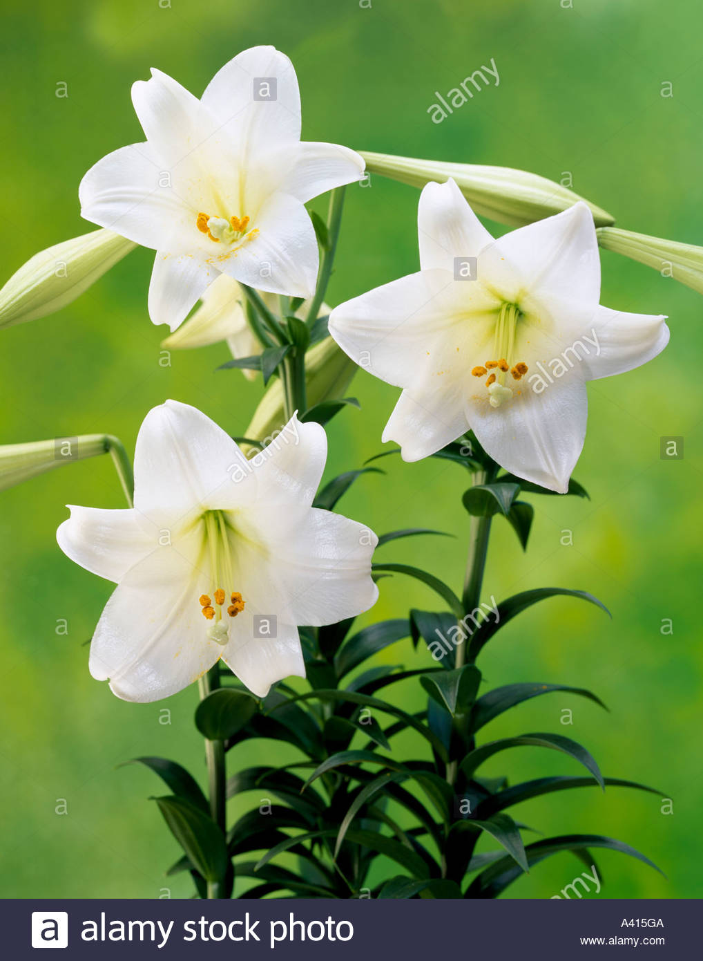 Gun lily trumpet lily japan flower plant lily white stock photo gun lily trumpet lily japan flower plant lily white dhlflorist Choice Image