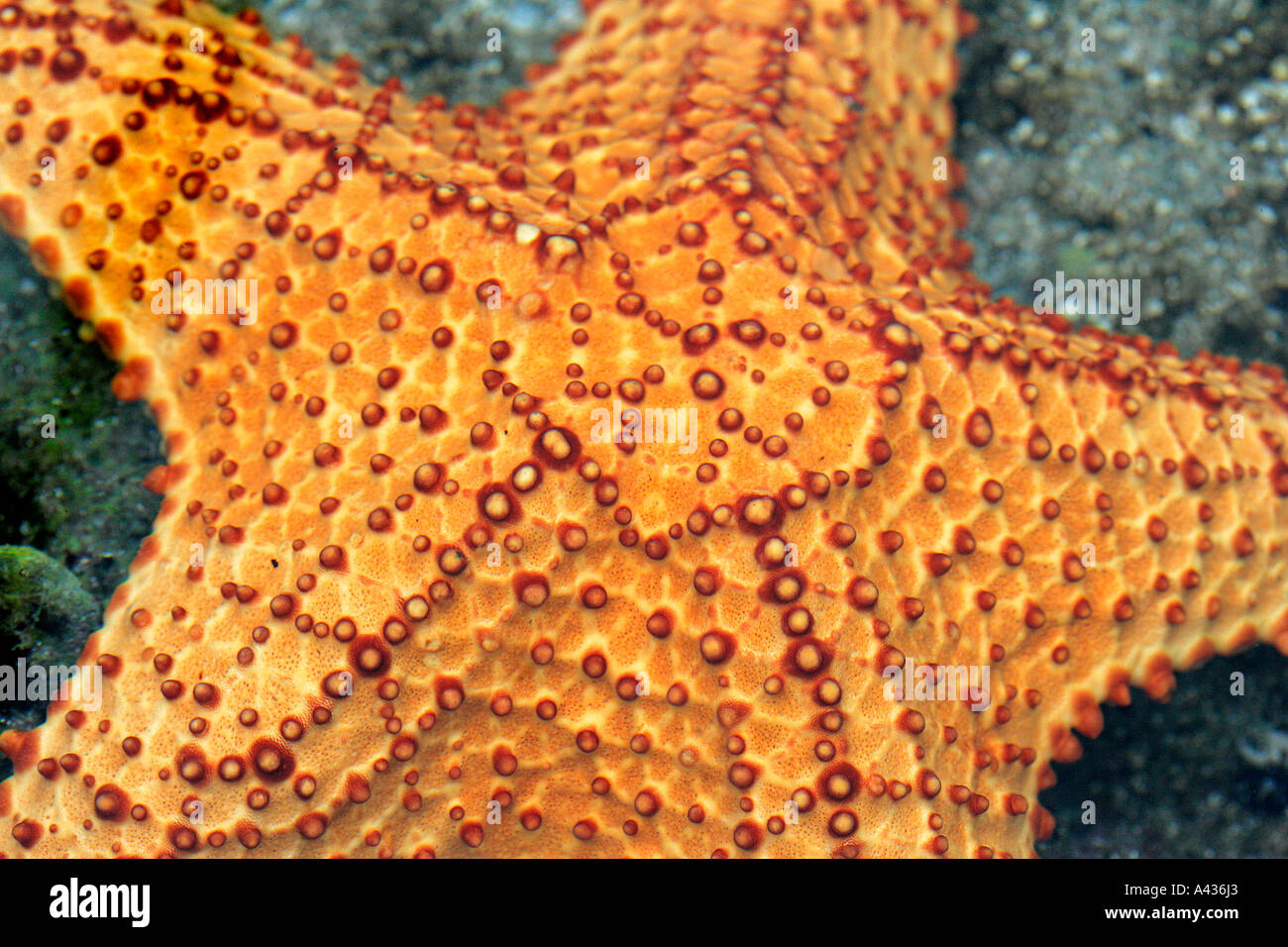 star fish sea star aquarium tank animal fishes freshwater aquaria tropical goldfish fancy red blue yellow lilac colour color