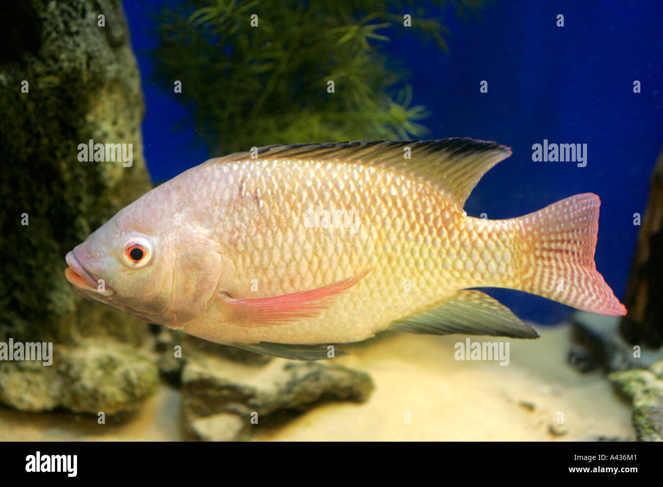 Fish Aquarium In Coimbatore - Freshwater aquarium fish goldfish stock photo fish aquarium tank animal fishes freshwater aquaria tropical goldfish