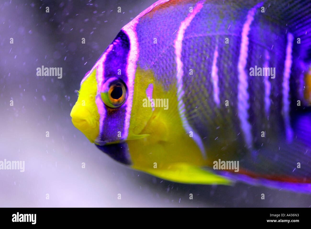 Freshwater Aquarium Fish In Dubai - Stock photo fish aquarium tank animal fishes freshwater aquaria tropical goldfish fancy red blue yellow lilac colour color genetic diversity