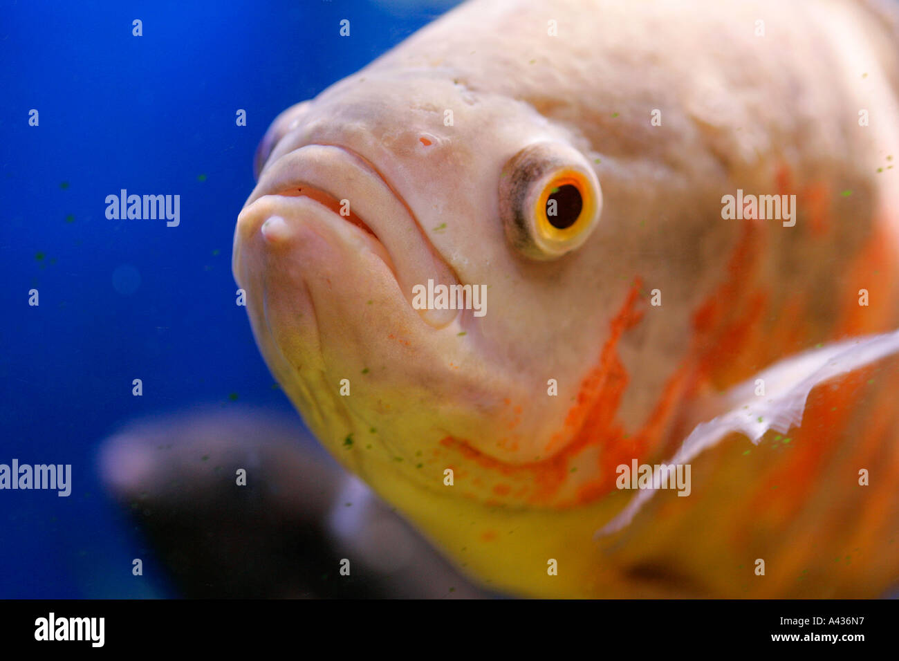 Freshwater fish tank yellow water - Stock Photo Fish Aquarium Tank Animal Fishes Freshwater Aquaria Tropical Goldfish Fancy Red Blue Yellow Lilac Colour Color Genetic Diversity