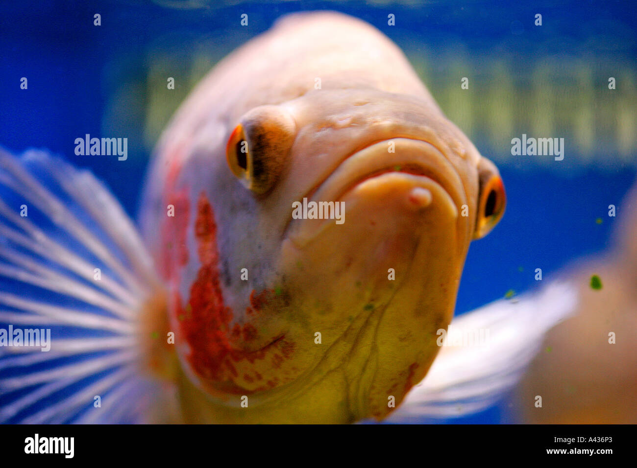 Fish in tank with goldfish - Stock Photo Fish Aquarium Tank Animal Fishes Freshwater Aquaria Tropical Goldfish Fancy Red Blue Yellow Lilac Colour Color Genetic Diversity