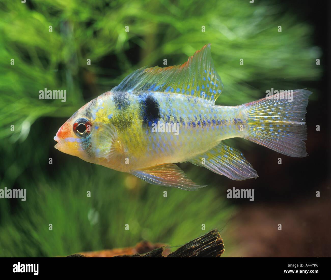 Freshwater fish hobby - Fish Ramirezi Dwarf Cichlid Apistograma Ramirezi South America Water Aquarium Freshwater Pet Hobby Underwater Swim Stock