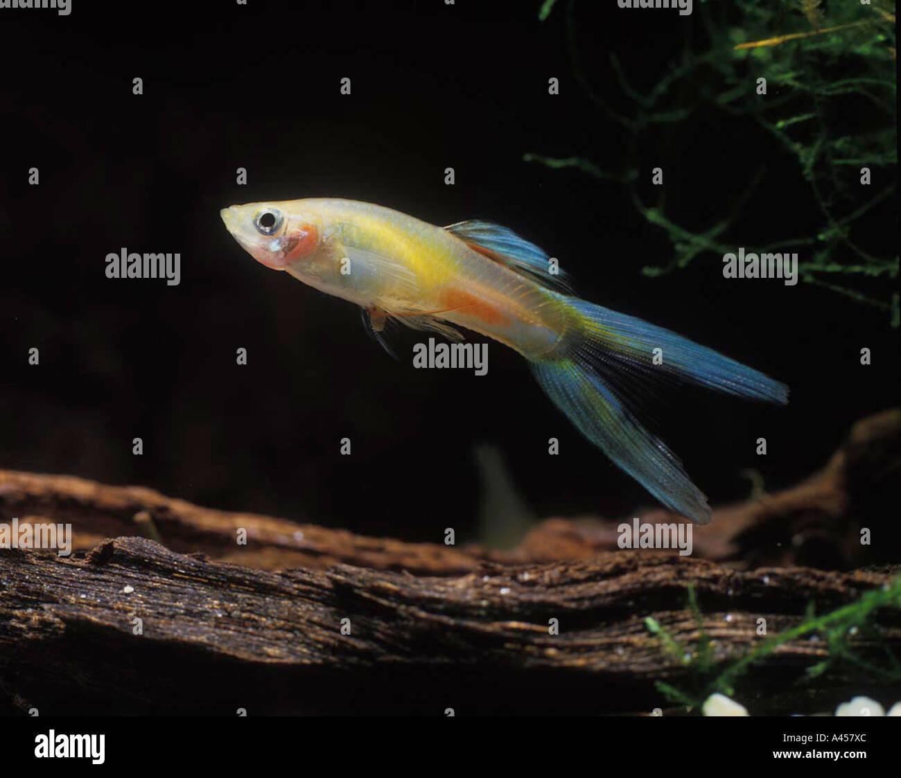 Freshwater fish hobby - Guppie Guppy Guppy Jeune Male Lebistes Reticulatus Water Aquarium Freshwater Pet Hobby Underwater Swim Fish Tropical