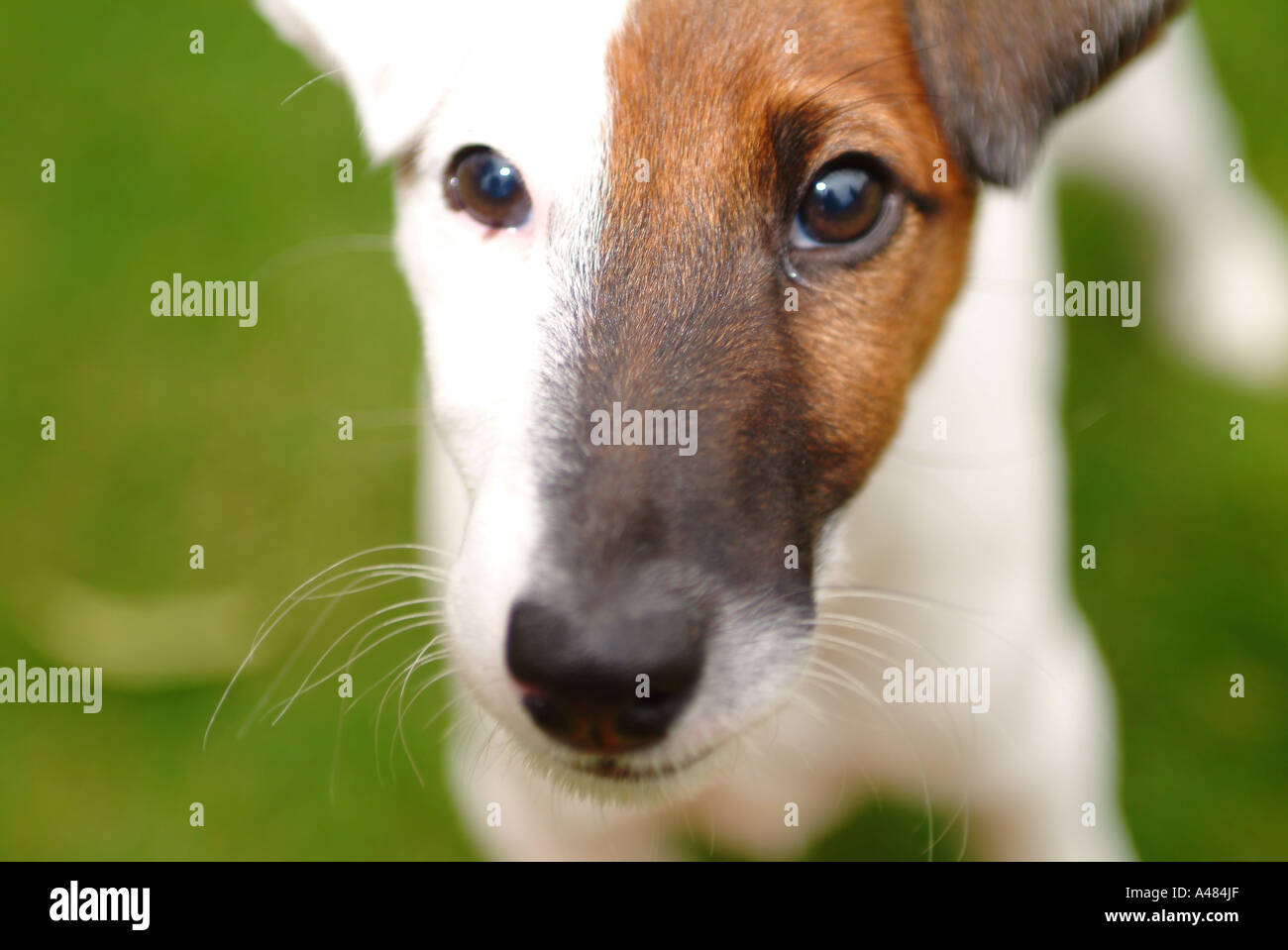 smooth haired fox terrier puppy stock photo royalty free