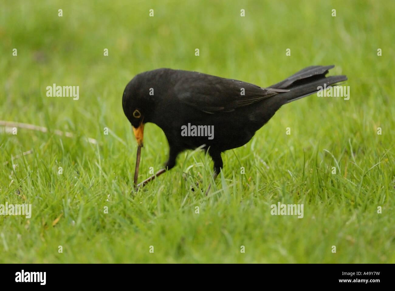 How to Hunt Blackbirds