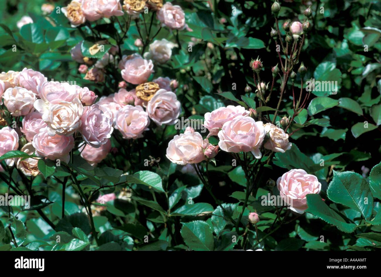 Cecile Brunner Polyantha Rose Rosa Polyantha Cecile Brunner