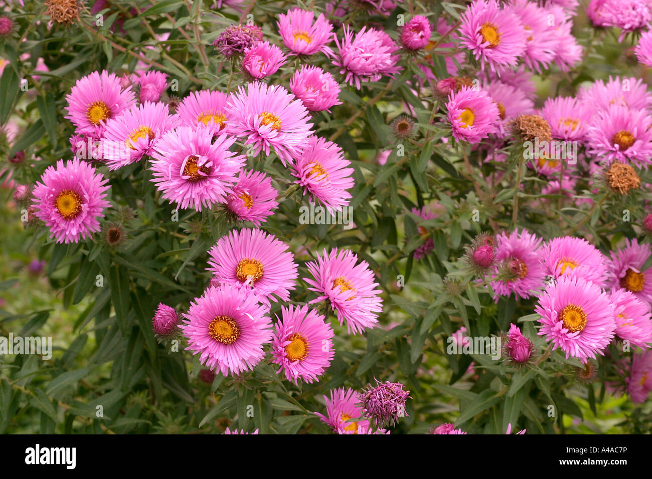 pink aster novae angliae stock photos  pink aster novae angliae, Beautiful flower