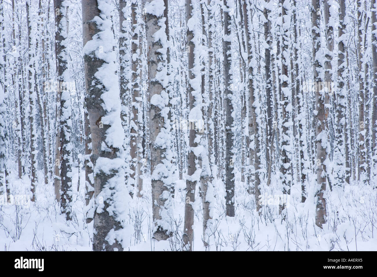 Birch trees in the winter stock photo image 2170700 - Birch Trees In The Winter Stock Photo Image 2170700 33
