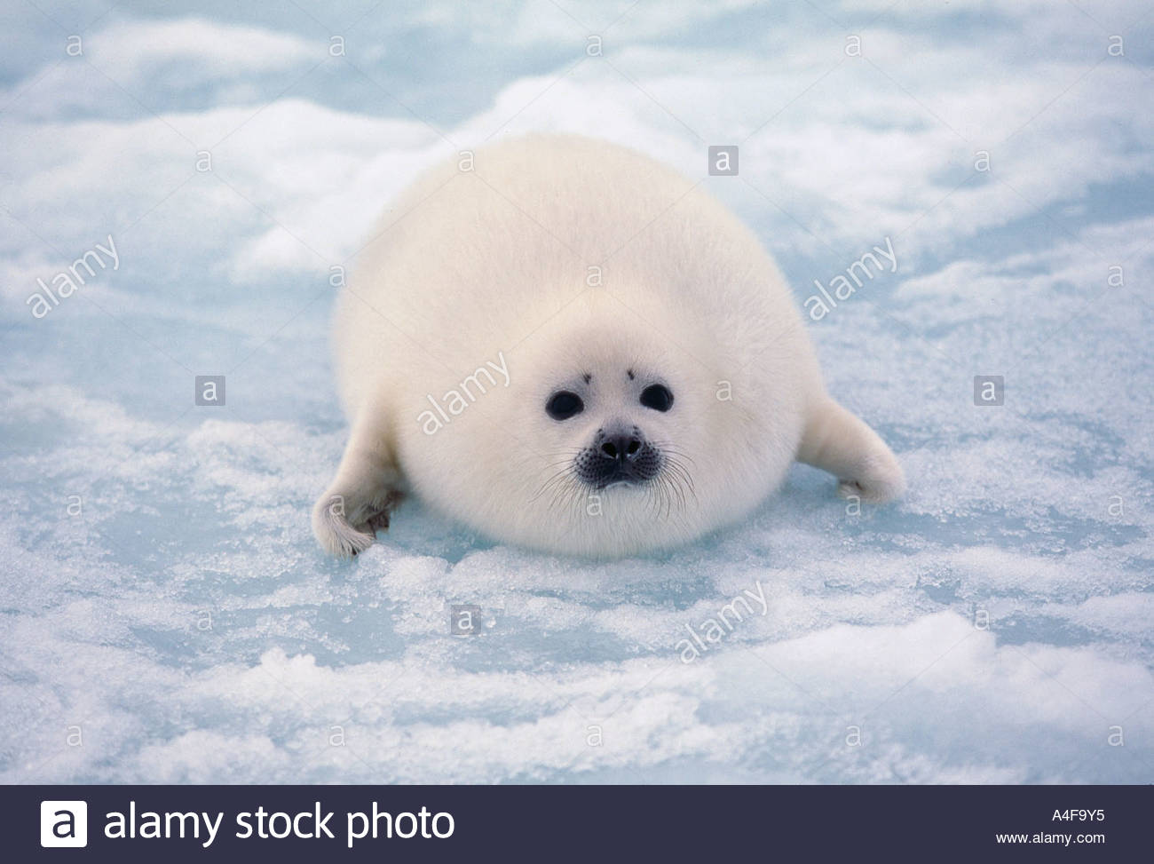 Harp Seal pup on ice flows in Gulf of St Lawrence Canada North ...