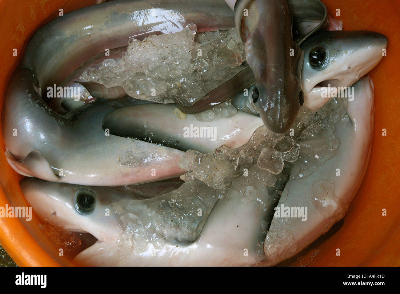 shark fin stock photos shark fin stock images alamy thresher shark pups alopias sp nanfang ao fish market suao taipei taiwan republic of
