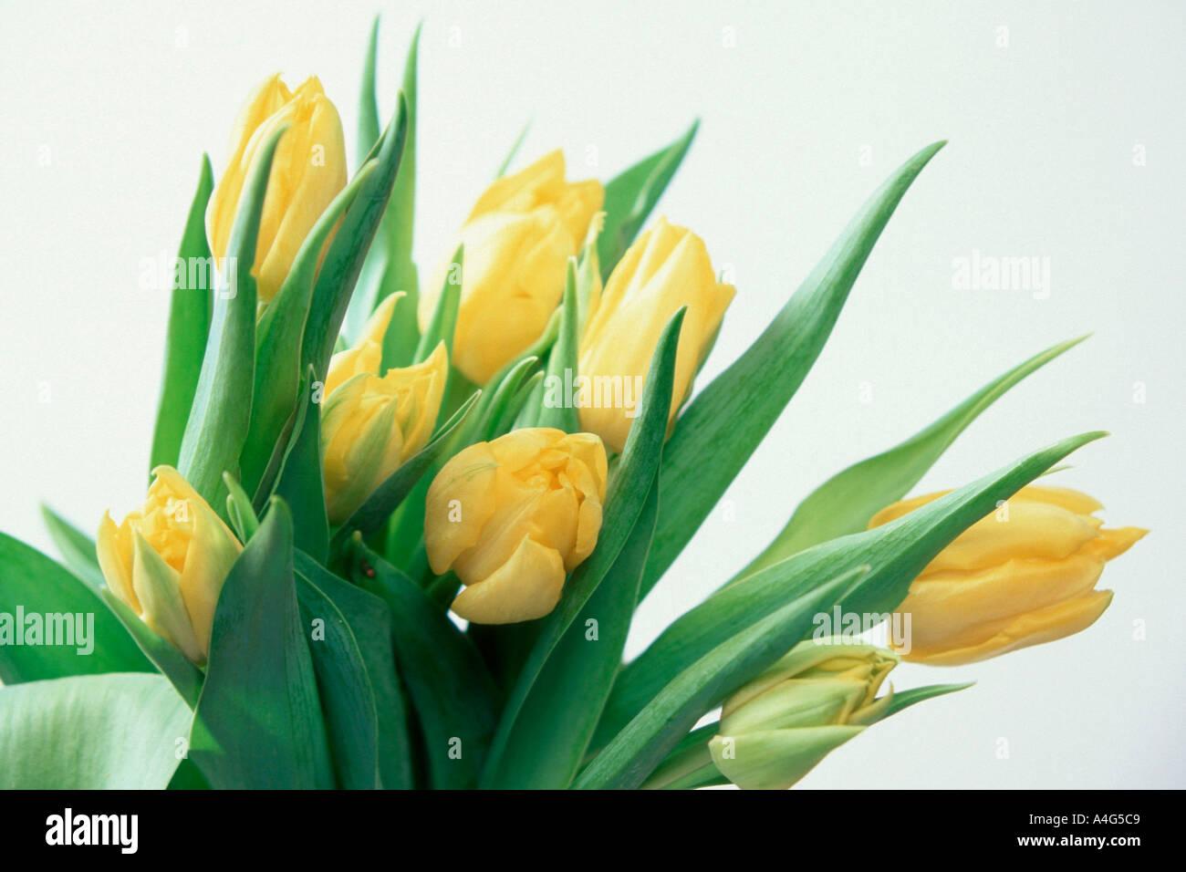 bunch of tulips ornamental plants flowers liliaceae blooming