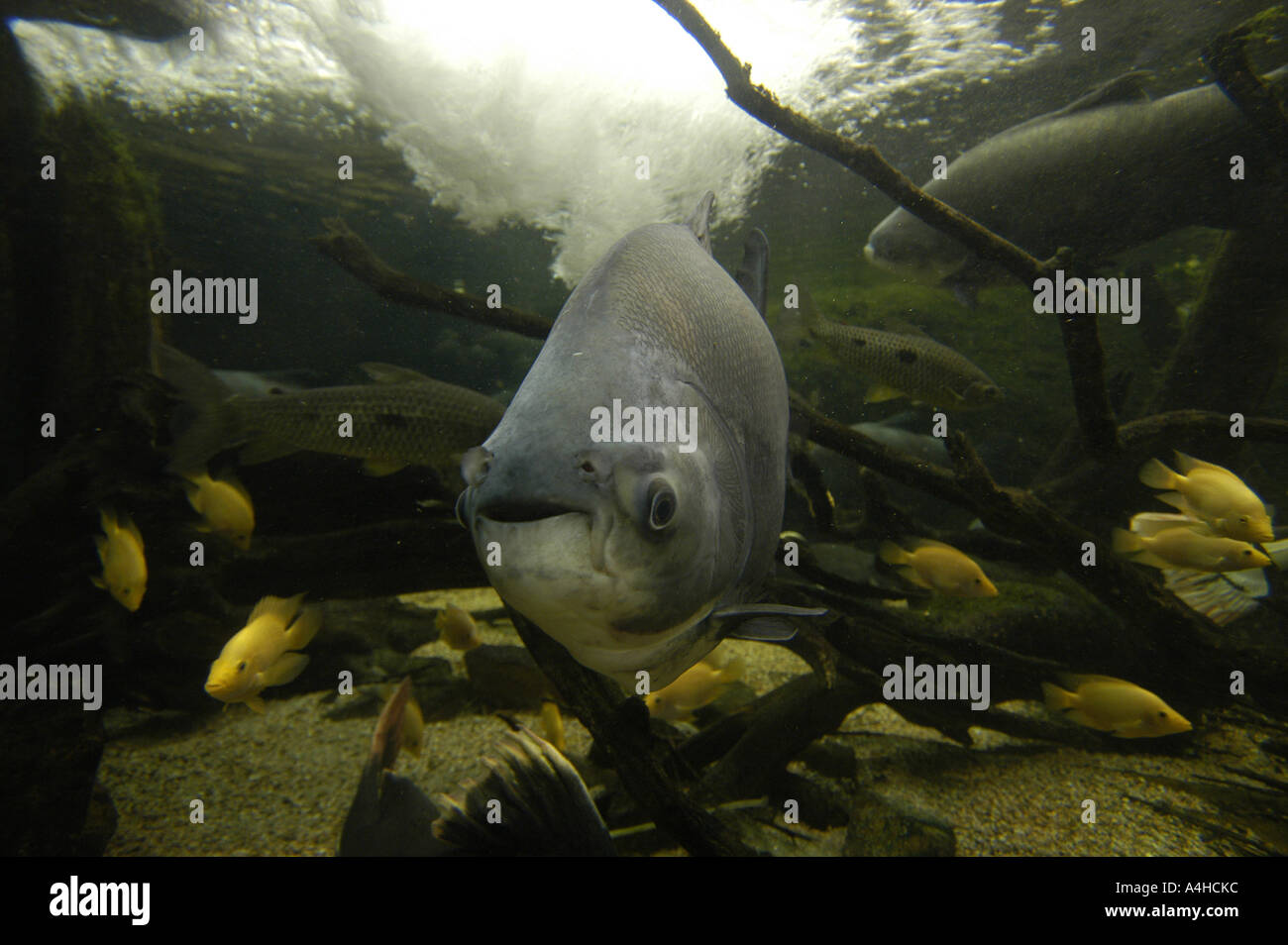 Black pacu collossoma macropomum amazon brazil underwater for Fish in the amazon