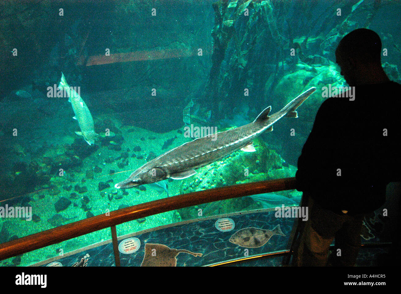 Fish aquarium in canada - Biodomo Aquarium Zoo Montreal Canada Quebec Atlantic Sturgeon Acipenser Oxyrinchos Ocean Marine Sportfishing Sport Fishing Under