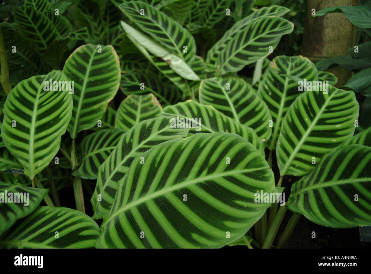 natural rainforest bush plant with green luscious striped leaves ...