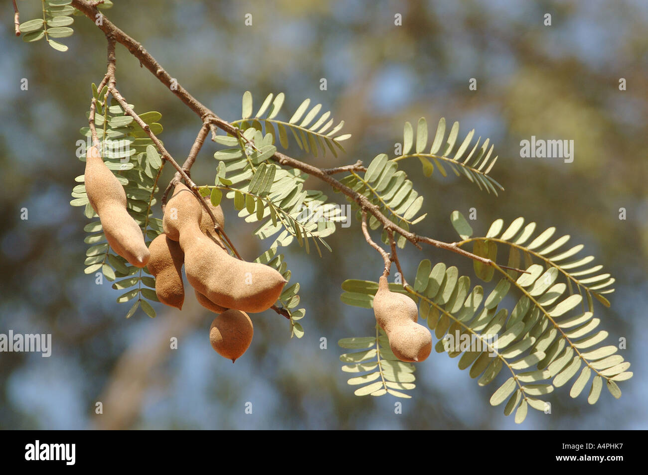 name of trees in hindi language Commonly used hindi words for trees, plants, and vegetation are given here to help hindi learners  hindi language speed learning course read about it or buy it sponsors hindi words in common use (vyaavaharik shabd) english  equivalents of over 300 hindi words in common use are given as under: animals & insects.