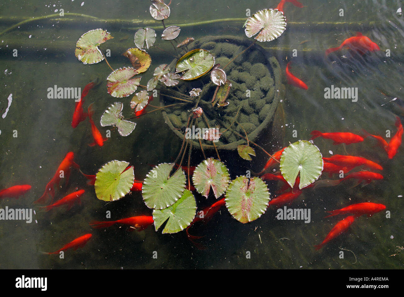 Freshwater fish tank yellow water - Stock Photo Lily Flower In Little Pond Leaves Golden Fish Aquarium Tank Animal Fishes Freshwater Aquaria Tropical Goldfish Fancy Red Yellow