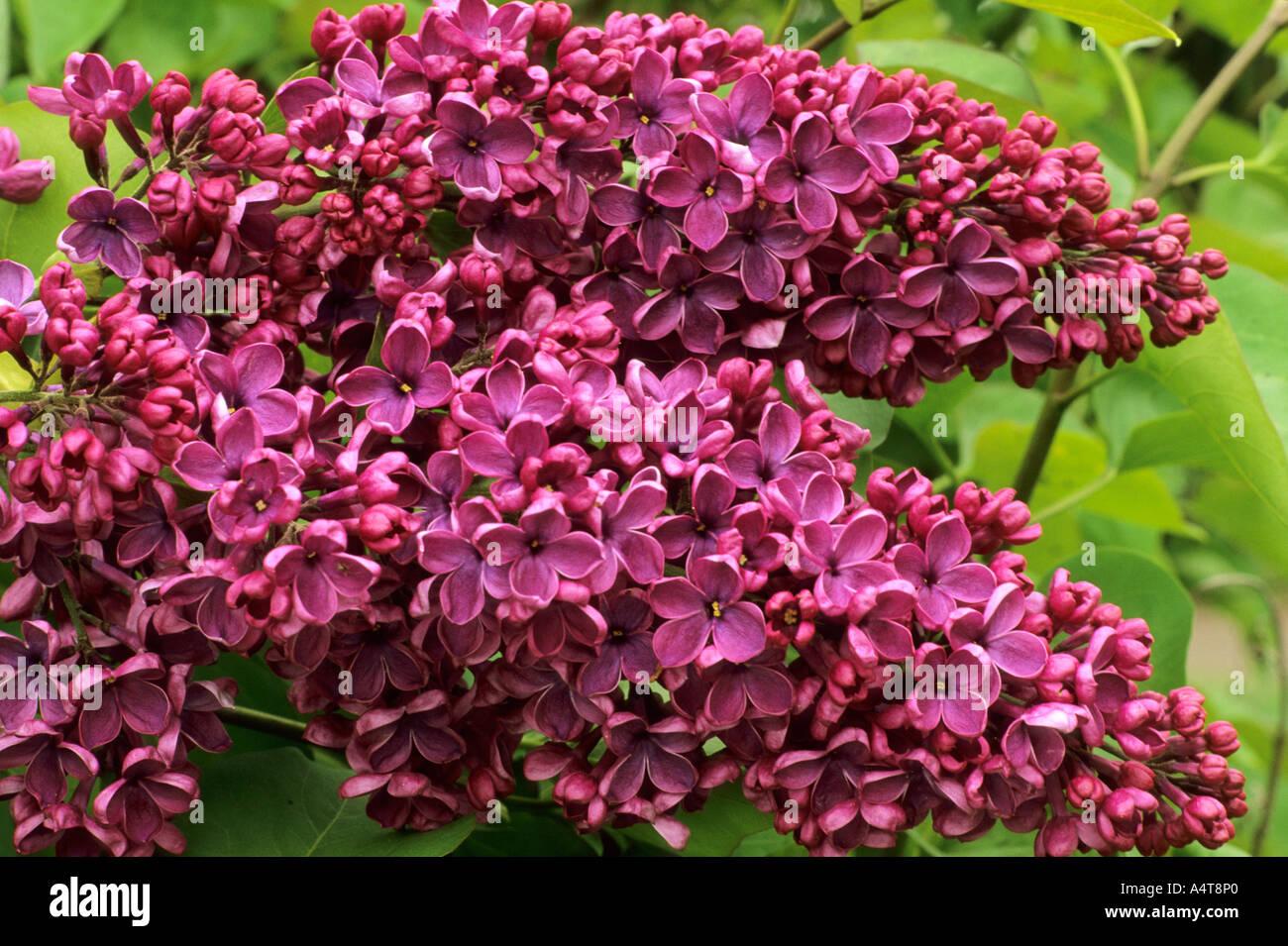 syringa vulgaris 39 andenken an ludwig spath 39 lilac. Black Bedroom Furniture Sets. Home Design Ideas