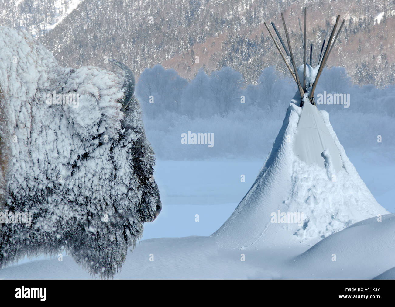 bison and tent - in winter / Bison & bison and tent - in winter / Bison Stock Photo Royalty Free Image ...