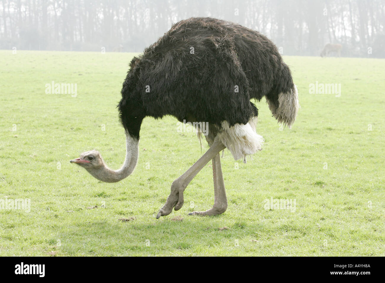 ostrich feet stock photos u0026 ostrich feet stock images alamy