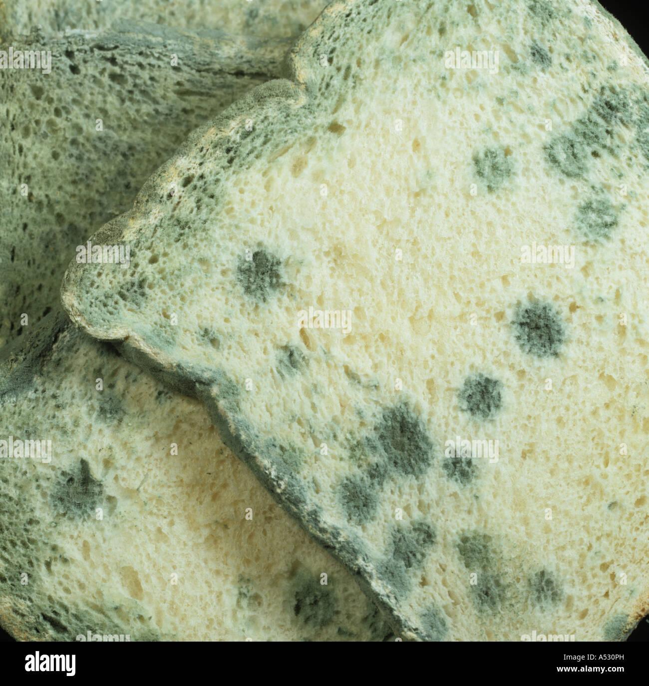 Penicillin mould Penicillium sp on sliced white bread ...