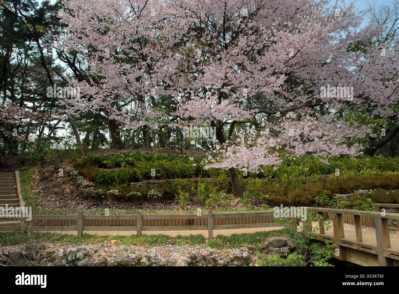 stock photo tokyo japan travel sakura garden pink flower bridge pool bridge landscape
