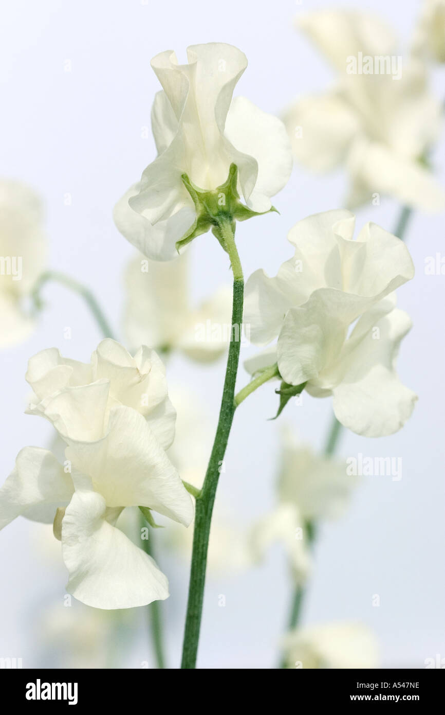 A studio shot of sweet pea flowers on white background stock photo a studio shot of sweet pea flowers on white background mightylinksfo Gallery