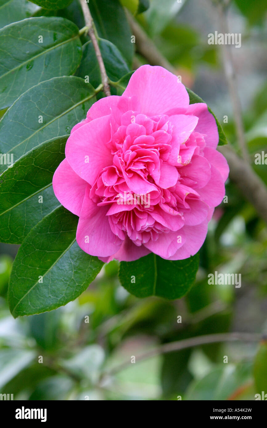 Camellia Williamsii Debbie Care Instructions