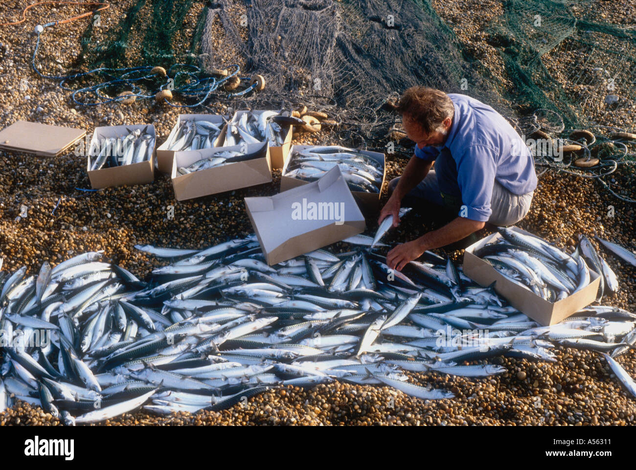 Traditional Seine Net Fishing Catch Of Mackerel From A Lerret Boat At Chesil Beach Near Weymouth Dorset England Uk