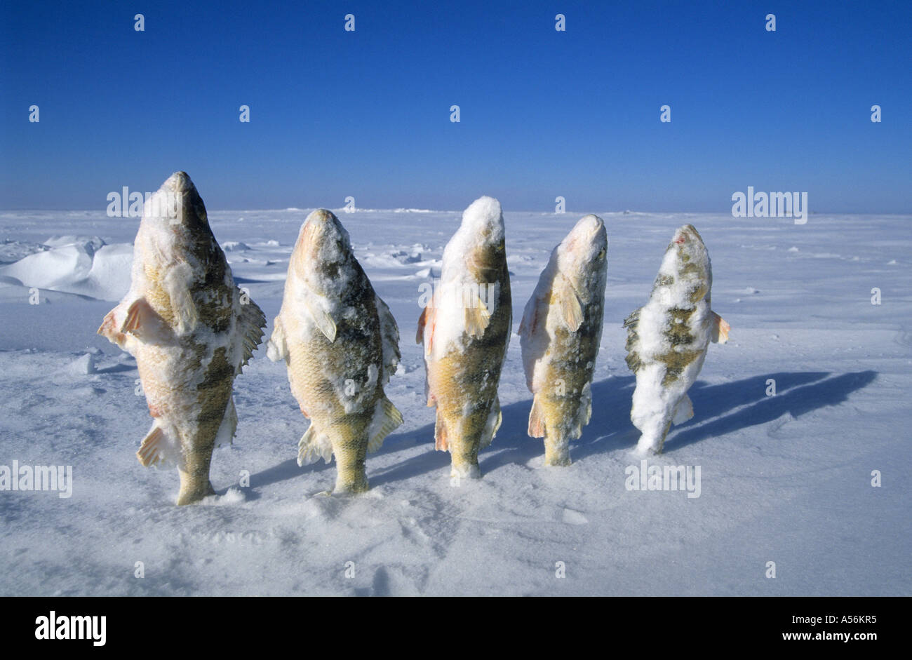 Frozen fish in the snow mille lacs lake minnesota usa for How to freeze fish