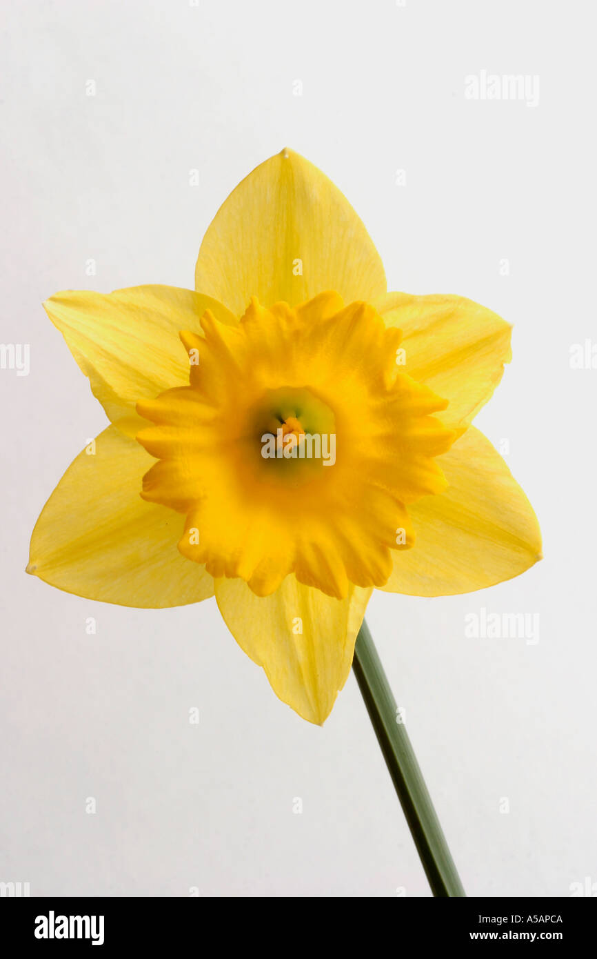 Daffodil national flower of wales symbol icon iconic ...