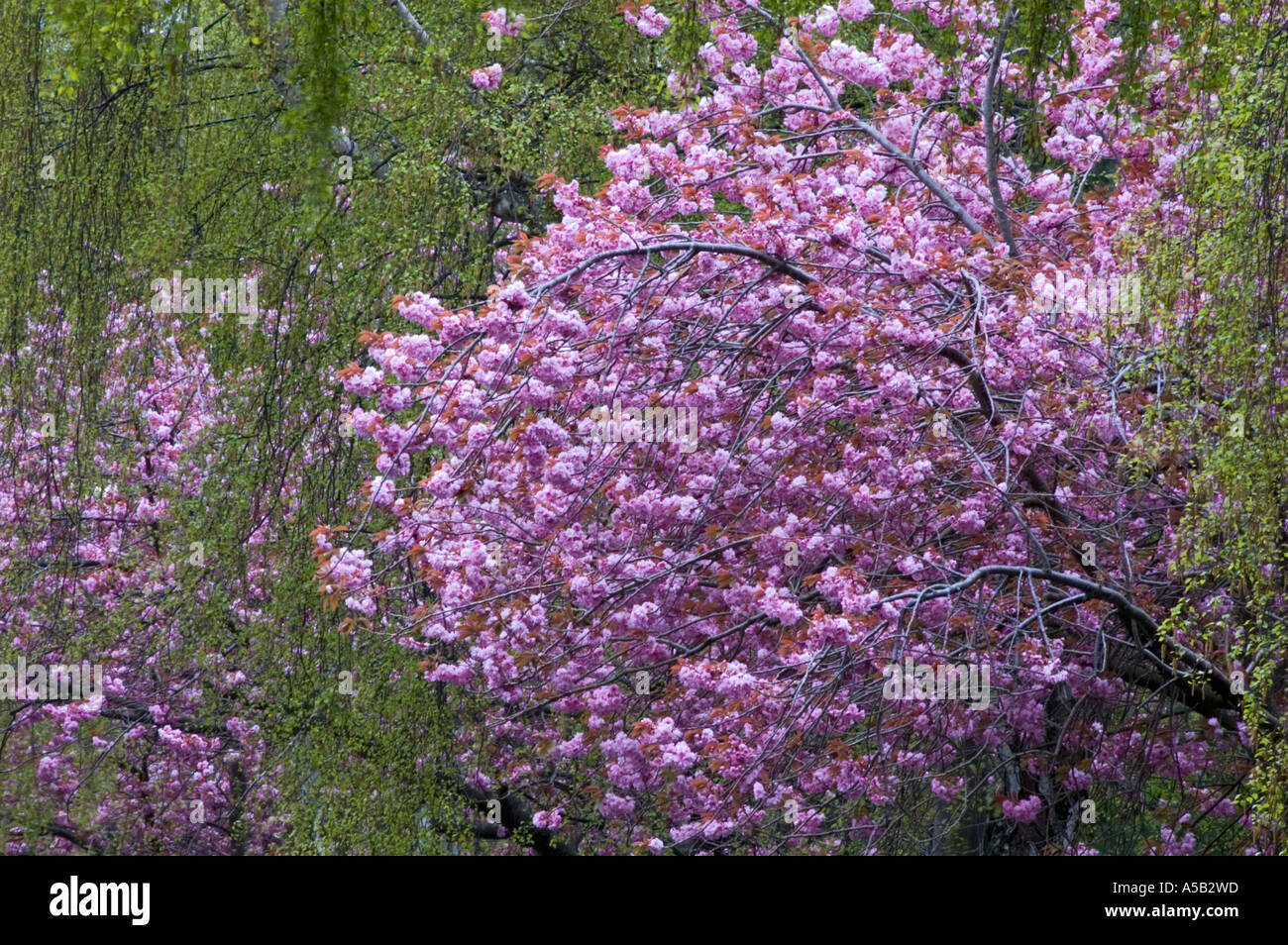 Flowering Japanese Cherry Trees And Weeping Birch On Michigan Ave Victoria British Columbia