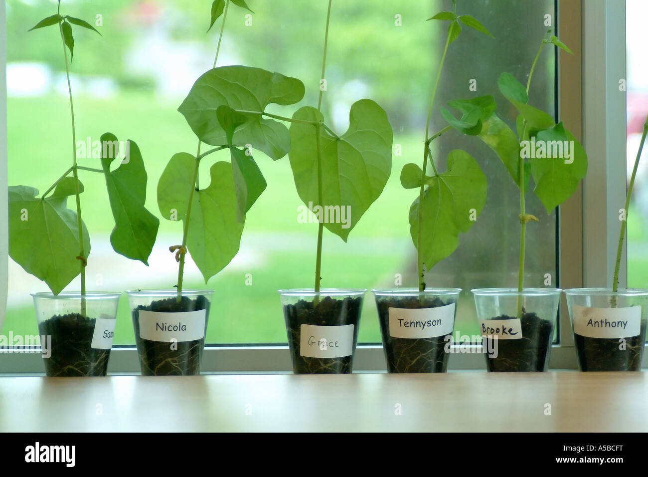 how to grow bean plants for science projects